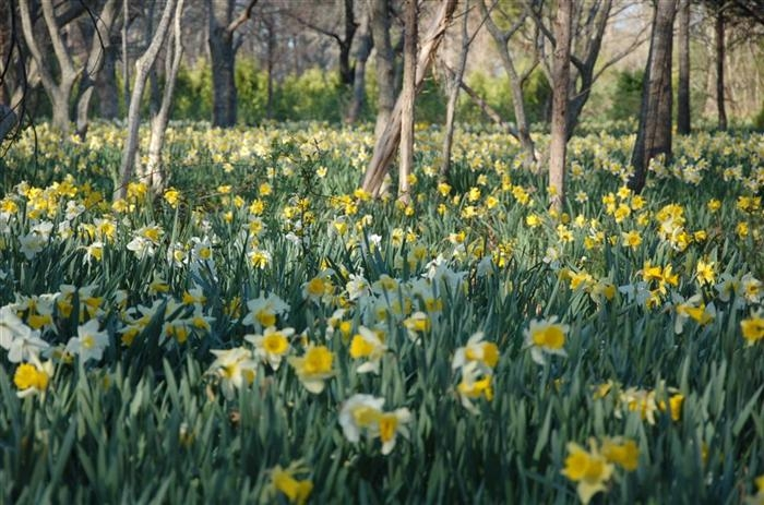 dafodils at Parson's Reserve