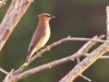 Cedar Waxwing at Knowles Reserve
