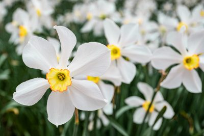 Cover -James Correia - Daffodils at Parsons Reserve