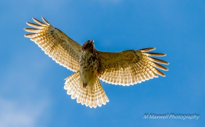 January: Juvenile Red-tailed Hawk, Wernick Farm - Mark Maxwell