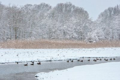 February: Canada Geese, Star of Sea - Mark Goulding