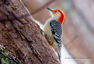 March: Red-bellied Woodpecker, Slocum's River Reserve -Mark Maxwell