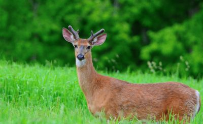 April: Buck at Smith Farm - Gary Reardon
