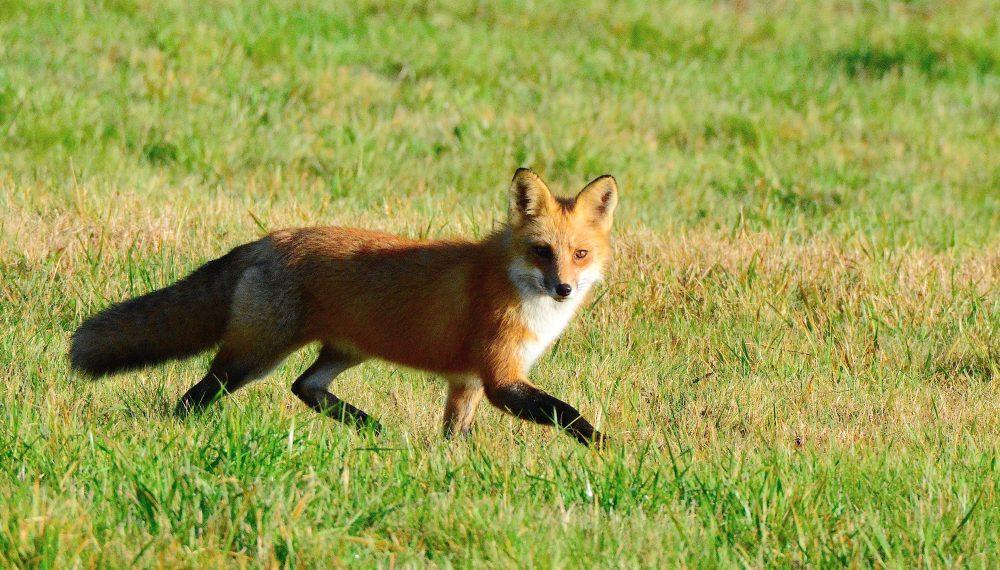 April - Gary Reardon - Red Fox at Smith Farm