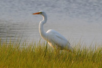 March---Great-Egret-at-Frank-Knowles-Little-River-Reserve---Cheryl-Braley
