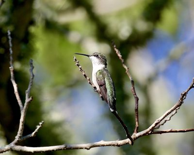 May: Ruby-throated Hummingbird, Frank Knowles-Little River Reserve - Michael Aronsohn