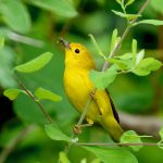 May - Michael Aronsohn - Yellow Warbler at Smith Farm