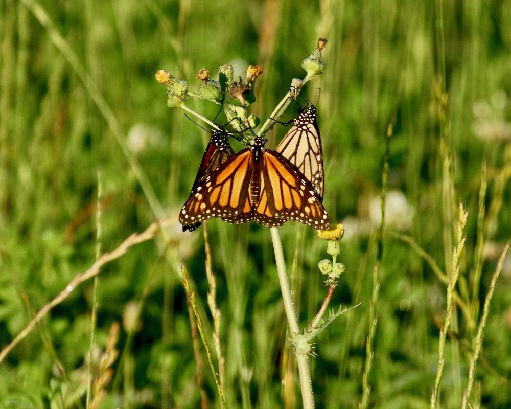 June - Michael Aronsohn - Monarch Butterflies at Ocean View Farm Reserve