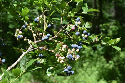 July - Leah Howard - Blueberries at McBratney Reserve
