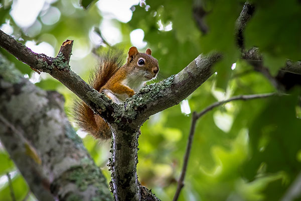 09 - August - Red Squirrel at Slocum's River Reserve - Mark Maxwell