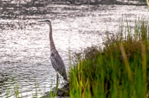 September: Blue Heron, Frank Knowles-Little River Reserve - Mark Goulding