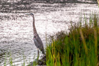 September: Blue Heron, Frank Knowles-Little River Reserve - Mark Goulding
