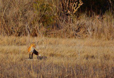 November: Fox at Smith Farm - Gary Reardon