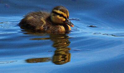 Gary Reardon - Duckling