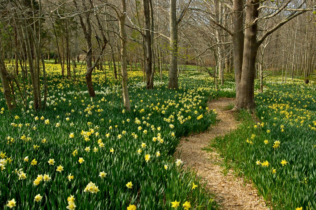 Daffodil Field at Parsons Reserve