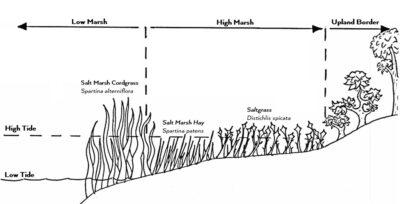 Salt Marsh Diagram