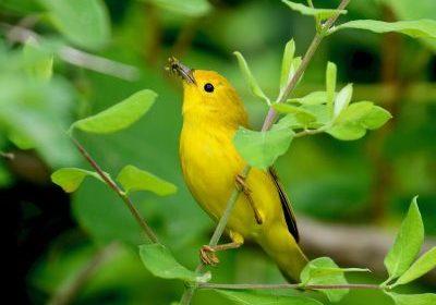 May - Michael Aronsohn - Yellow Warbler at Smith Farm
